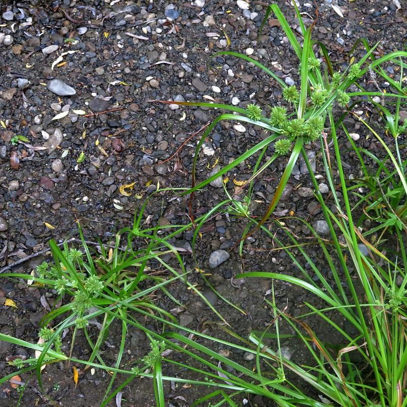 Cyperus eragrostis, TALL CYPERUS