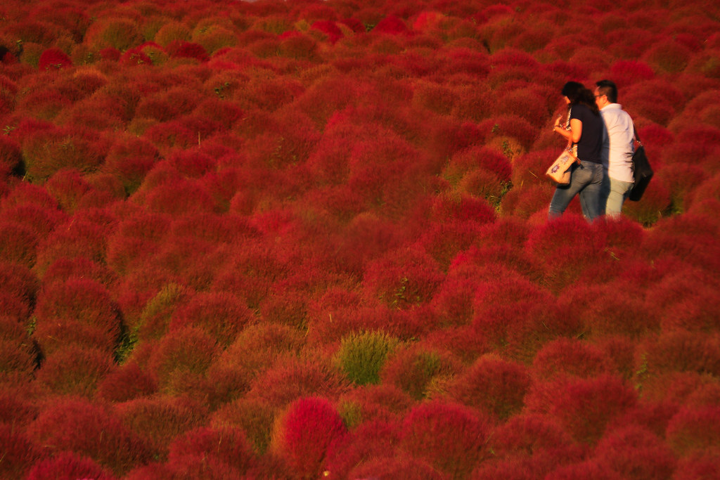 Kochia Scoparia Field My Favorite Park Hitachinaka Sea Si Flickr