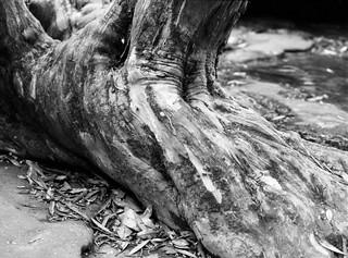 Eucalypt In Detail