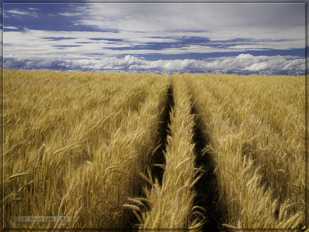 For Amber Waves Of Grain Scott Law Flickr