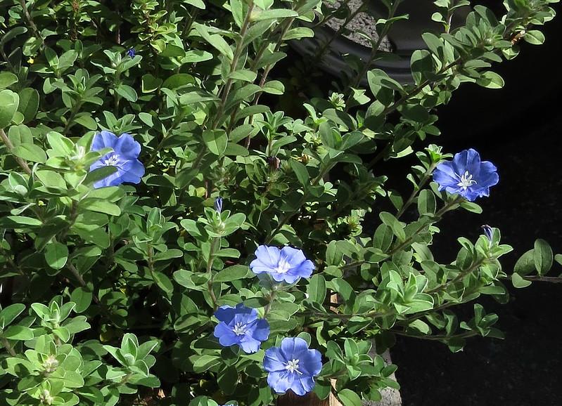 藍星花-4