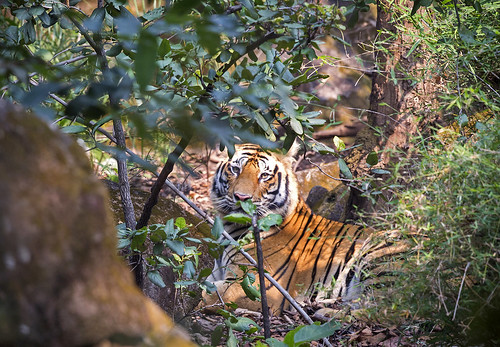 Jungle Tigress