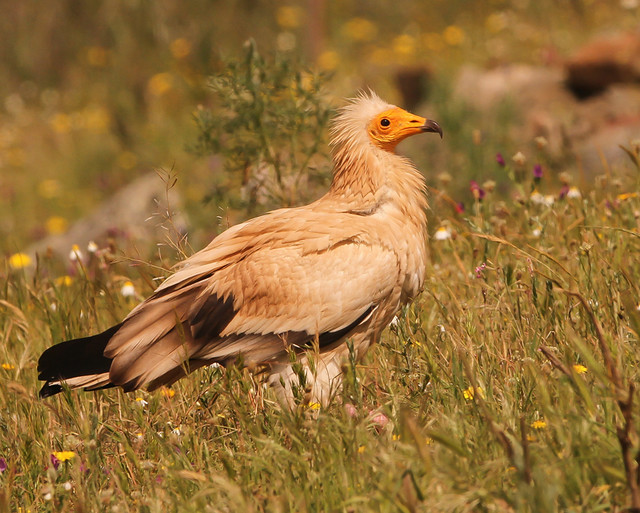 Abutre-do-Egipto / Alimoche común / Egyptian Vulture
