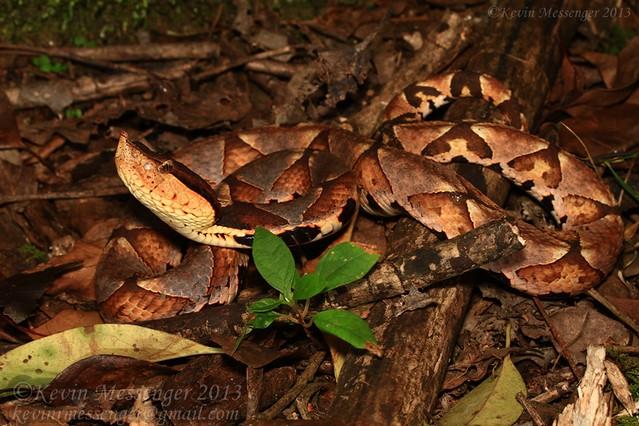 Deinagkistrodon acutus (Sharp-nosed viper)