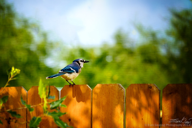 backyard blue jay