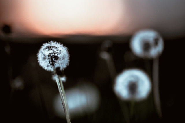 dandelion against sunset