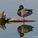 Ancient Companions - Mallard duck and two turtles at Sawhill Ponds