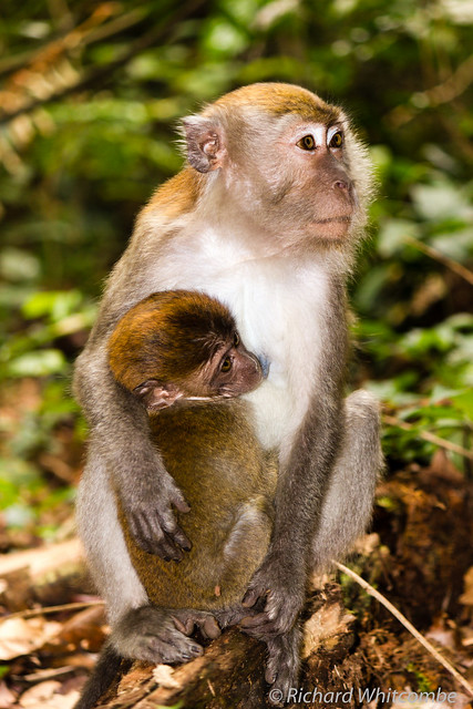 A mother and baby Macaque monkey in the rainforest of Sumatra