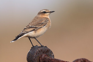 Northern Wheatear | by wayne.geater