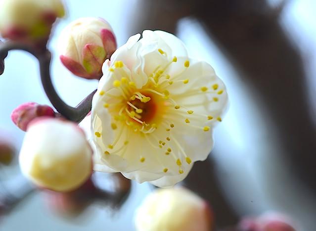 Japanese Apricot:雲龍梅
