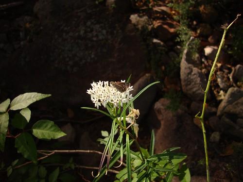 Elissa Roadside-Skipper on Asclepias angustifolia, Arizona Milkweed | by Birdernaturalist