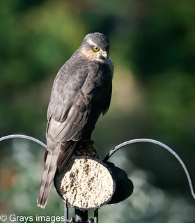 A Sparrow Hawk on the feeder | by grays images