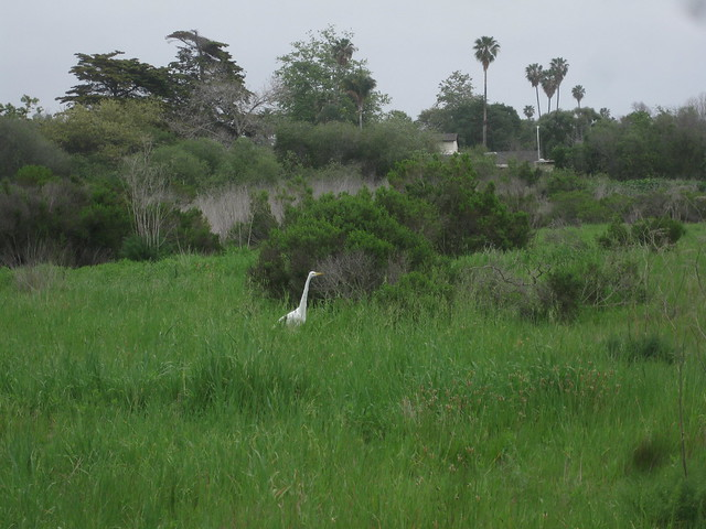 IMG_4173UCSB North Campus Faculty housing great egret hunting