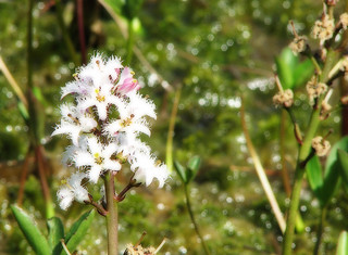Bogbean with Orton effect | by Helen in Wales