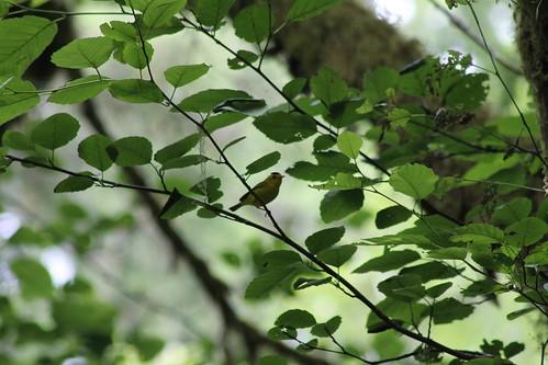 pusilla wilsonswarbler wilsoniapusilla cardellina schaferstatepark cardellinapusilla
