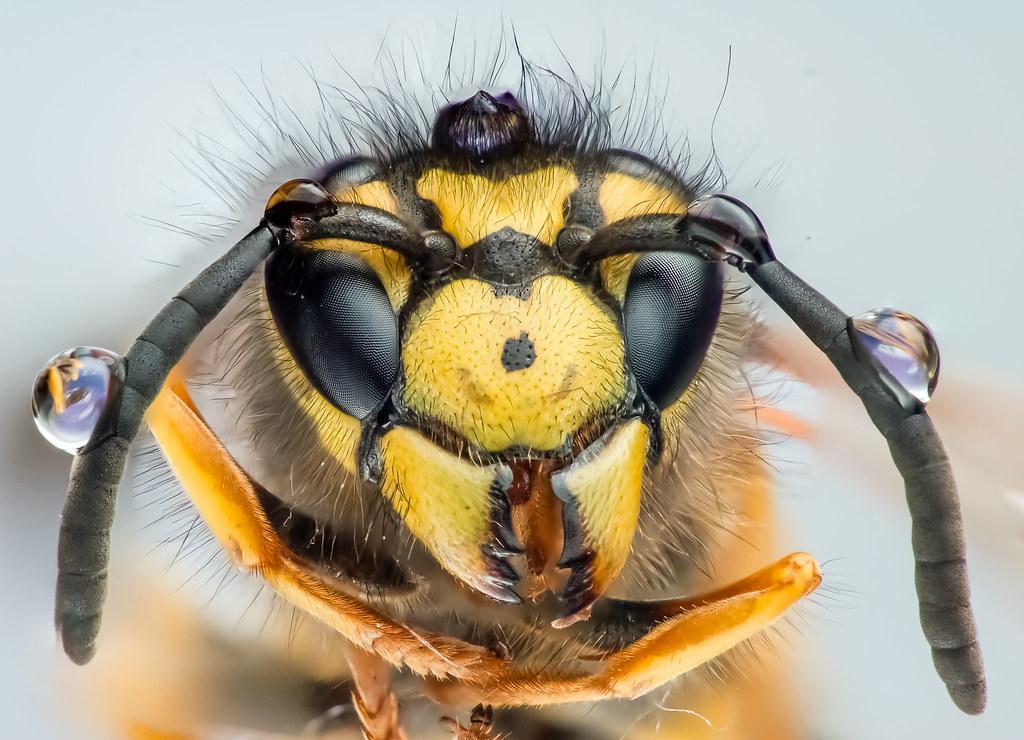 Wasp, It's dead :( Found it near of it's nest