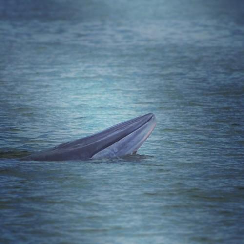 #Bryde's #whale วาฬบรูด้า | by WUZZ UP