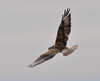 Ferruginous Hawk by NatureNM