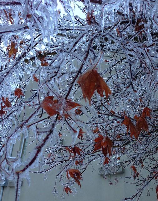 Japanese Maple Ice