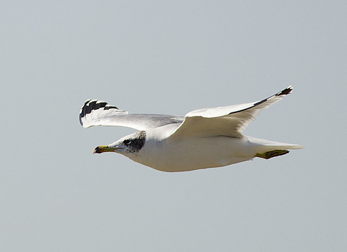 Pallas's Gull or Great Black-headed Gull | by as_kannan