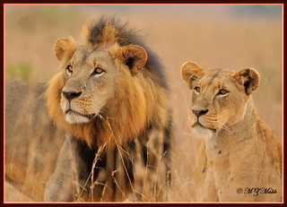 KING OF THE JUNGLE WITH HIS 'QUEEN' (Panthera leo).....NAIROBI NAT.PARK.....OCT 2013   by M Z Malik