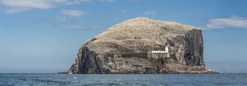 Bass Rock Gannets