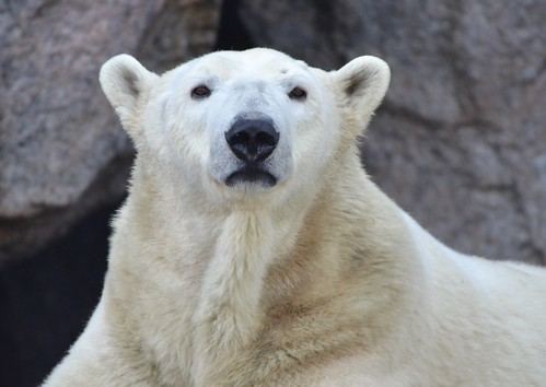 bear polarbear cincinnatizoo zoo mammals nature portrait jennypansing czbg