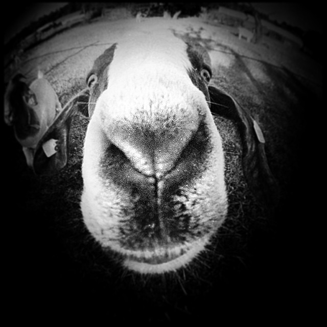 #goat #friend #fisheye #marc2u