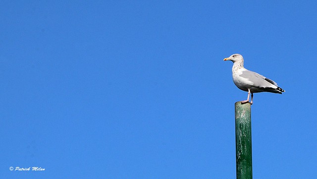 Seagull in the blue