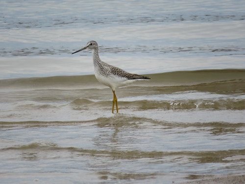 Greater Yellowlegs | by jdf_92