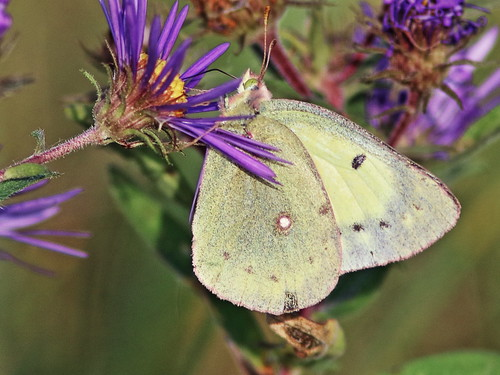 Clouded Sulphur on Purple Aster 2-20161018