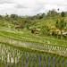 Jatiluwih Rice Terrasses