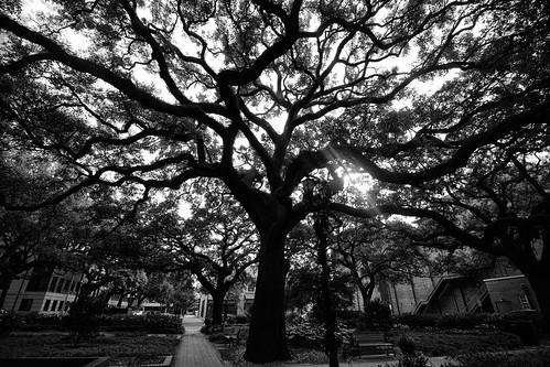 savannah georgia trees oaks quercusvirginiana blackandwhite monochrome landscape dorameulman beautiful outdoor