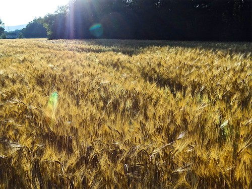 sunset novascotia wheat annapolisvalley