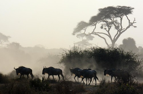 Wildebeest at dawn - Amboseli