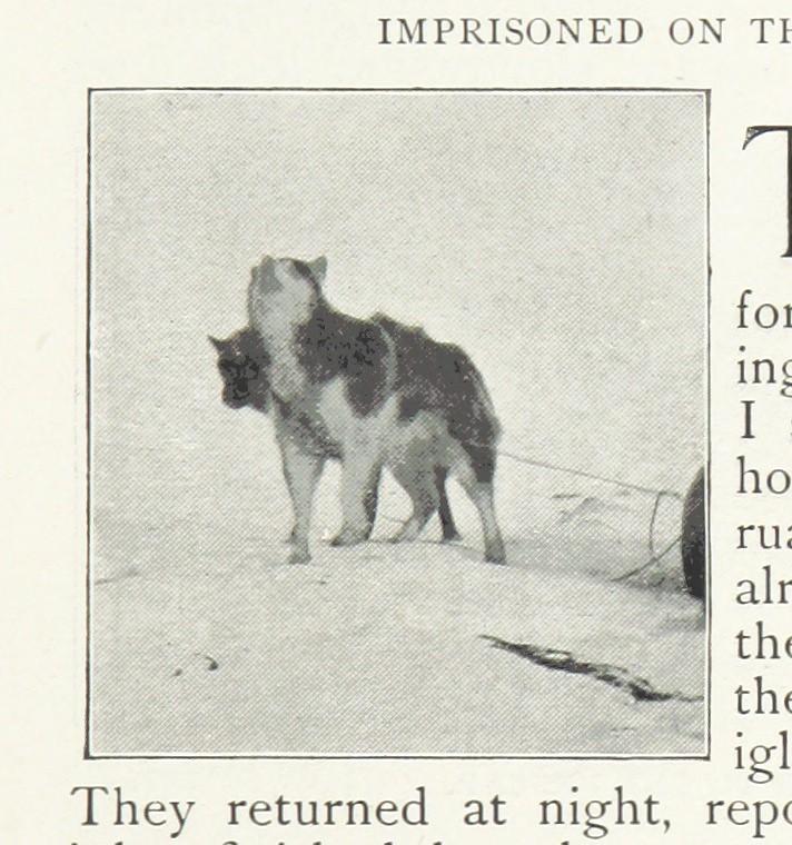 Groenlandese (razza canina) - Dog Scanner