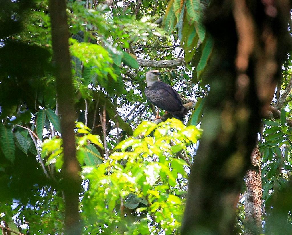 Morphnus guianensis :: Crested Eagle