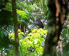 Morphnus guianensis :: Crested Eagle by Frederico Pereira PhotoNatural