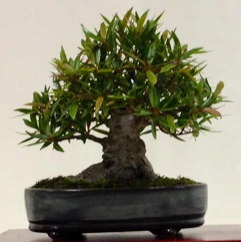 Jorge's Ficus
