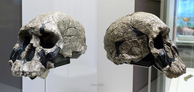 Replica de Craneo de Homo rudolfensis  (La Cuna de la Humanidad, MAR, Alcalá de Henares, Madrid)