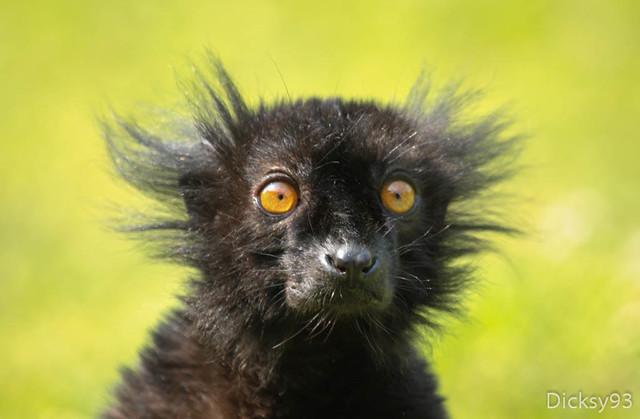 Lémur macaco (Eulemur macaco macaco) - Explore Jul 15, 2013
