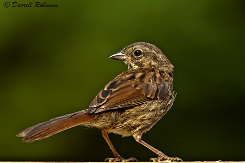 bw bird nature canon washington wildlife adobe sparrow olympia songsparrow thurstoncounty canoneos50d lightroom3 adobephotoshopcs5 bwfprouvfilter adobebridgecs5 canonef70200mmf28lisllusmlens canonextenderef2xlll