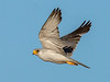 Grey Falcon (Falco hypoleucos) - The Mythical Bird Does Exist! by David Cook Wildlife Photography