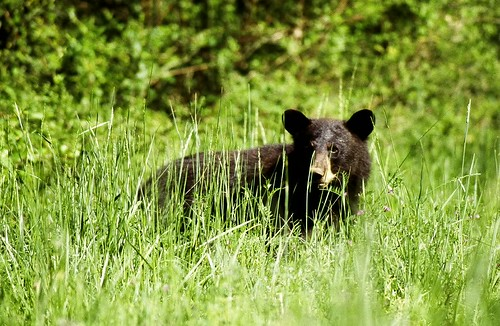 Black bear | by U. S. Fish and Wildlife Service - Northeast Region