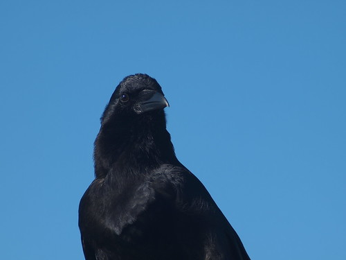 Black crow | by Bushman.K