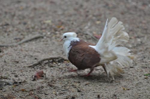Fantail (Pigeon)