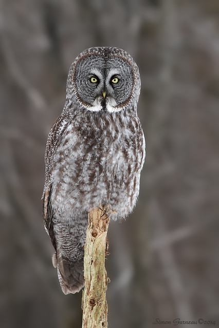 IMG_3454 Chouette Lapone / Great gray Owl