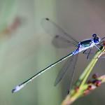 Damsel Fly