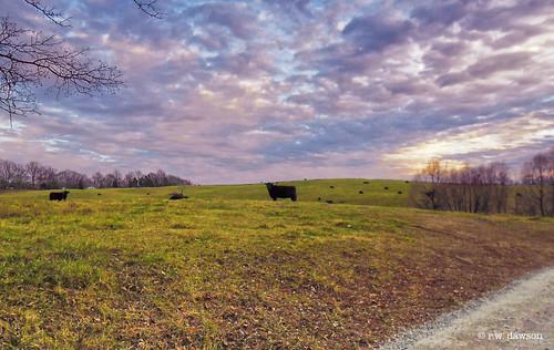 orangecounty va virginia field farm farmanimal cattle sunset