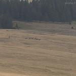 Spike bull elk herd
